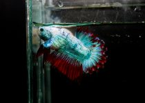 crowntail-plakat