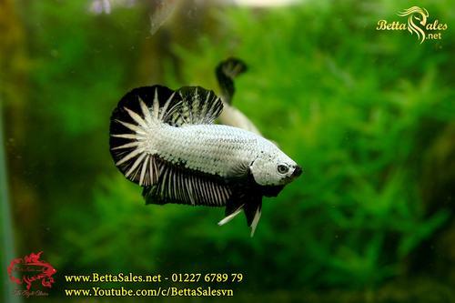Người Lai Tạo Cá Betta Rồng Đầu Tiên Tại Việt Nam   www.BettaSales.net