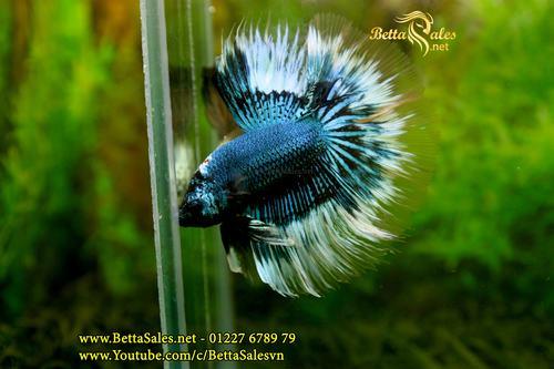 Cách để Gây giống Cá Xiêm | cách ép đẻ cá betta | cách chăm cá betta bột | Hướng dẫn chọn cá betta bố mẹ