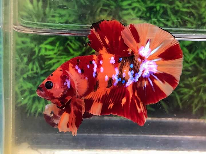 betta-koi-nemo-galaxy-2