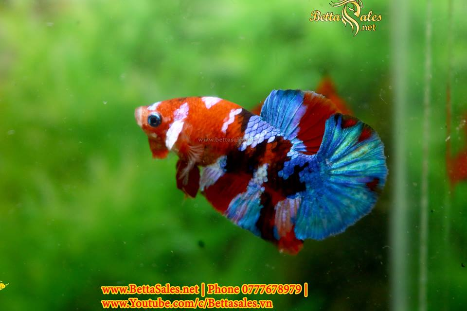 Bí Quyết Lai Tạo  Marble – Fancy – Koi – Samurai – Galaxy – Nemo