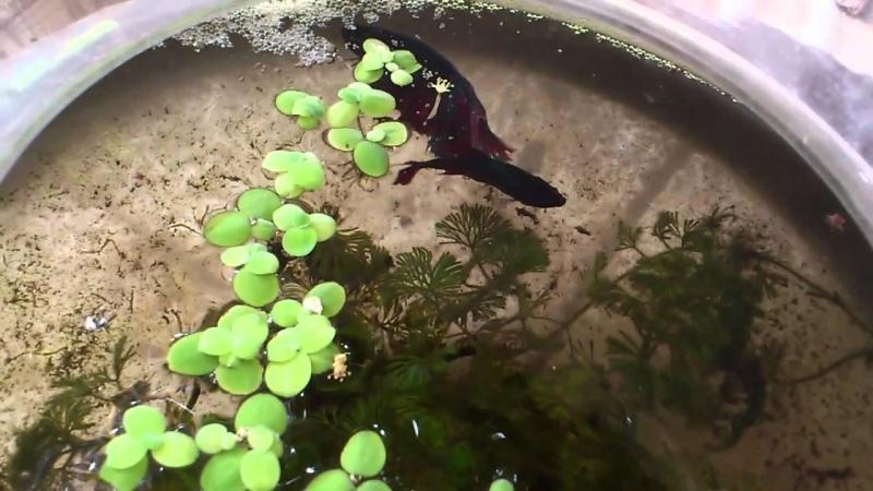 Hướng Dẫn Các Ép Cá Betta ( Ép Cá Xiêm ) Tỷ lệ Thành Công 99% – BettaSales.net – 0777678979