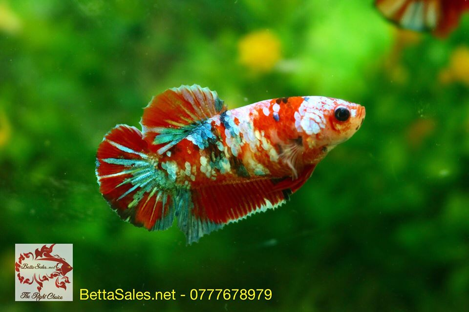 koi_nemo_galaxy_bettasales5