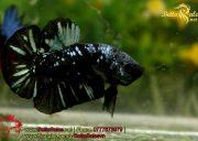 blackbluebettasales-1