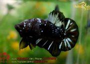 blackbluebettasales-11