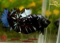 blackbluebettasales-5