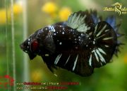 blackbluebettasales-8