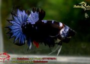 blackbluebettasales1-1