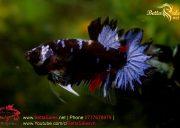 blackbluebettasales1-2