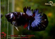 blackbluebettasales1-3