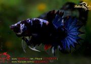blackbluebettasales1-4