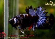 blackbluebettasales1-5