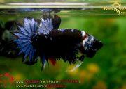blackbluebettasales1-6