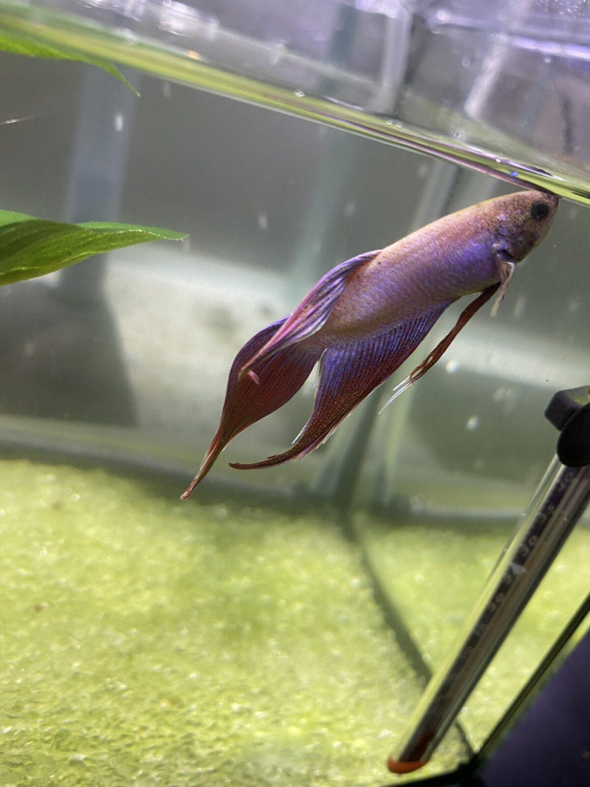 Cách trị Bệnh nấm , túm đuôi cho cá Betta