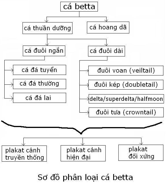 phân loại các loài cá betta | cách nhận dạng chủng loai cá betta
