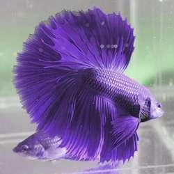 Cá Betta Màu Tím Có Thật ? sự thật về cá betta màu tím | betta violet